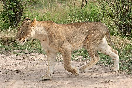 katze gegen löwe