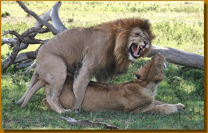 Aggressiver Löwe