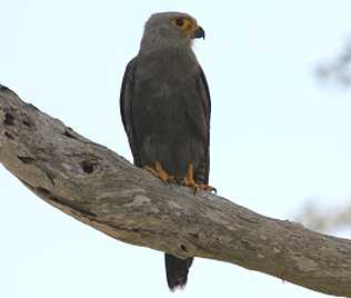 Dickinson´s Kestrel, Falco dickinsoni