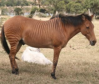 Zebroid, Sangare Ranch
